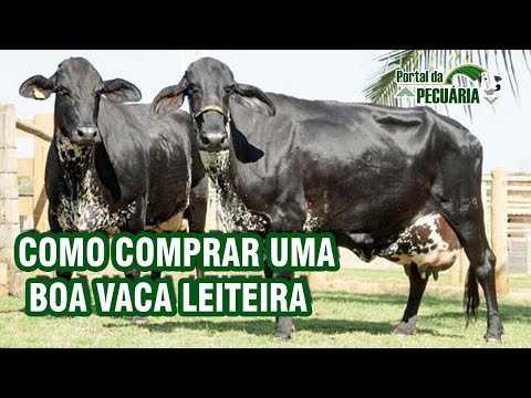 As 10 melhores ideias de negócios com vaca leiteira de alto rendimento